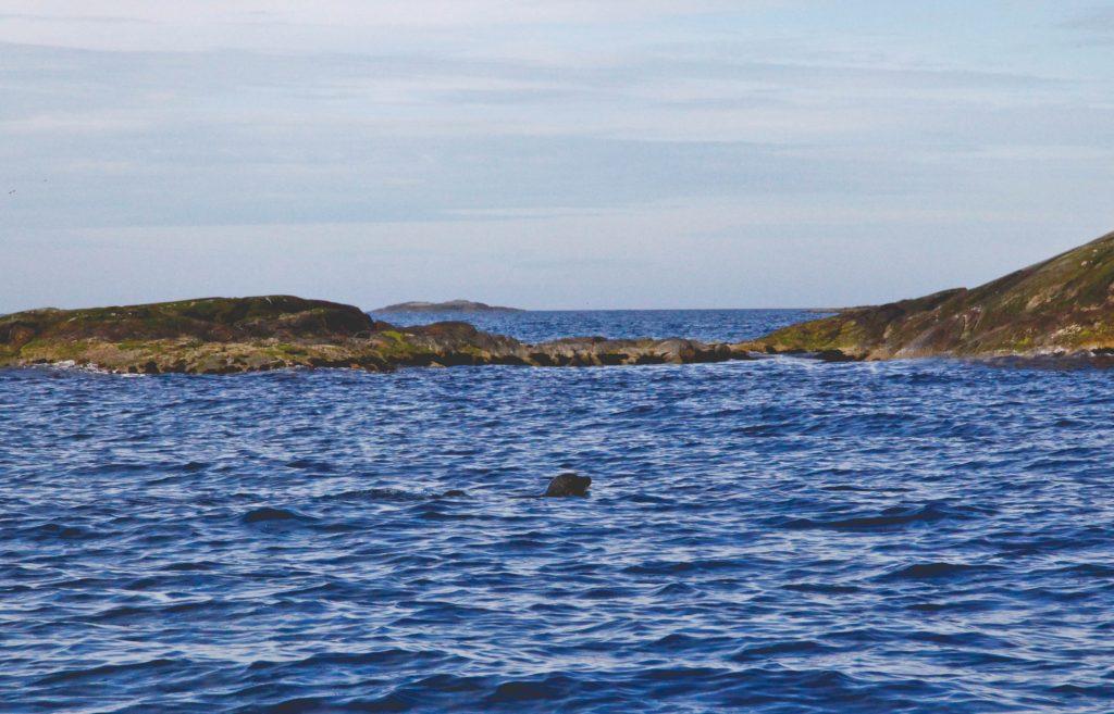 Phoques sauvages - Une blonde en Norvège