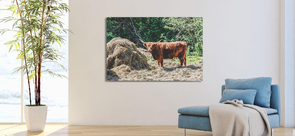 Vache écossaise - Une blonde en Norvège