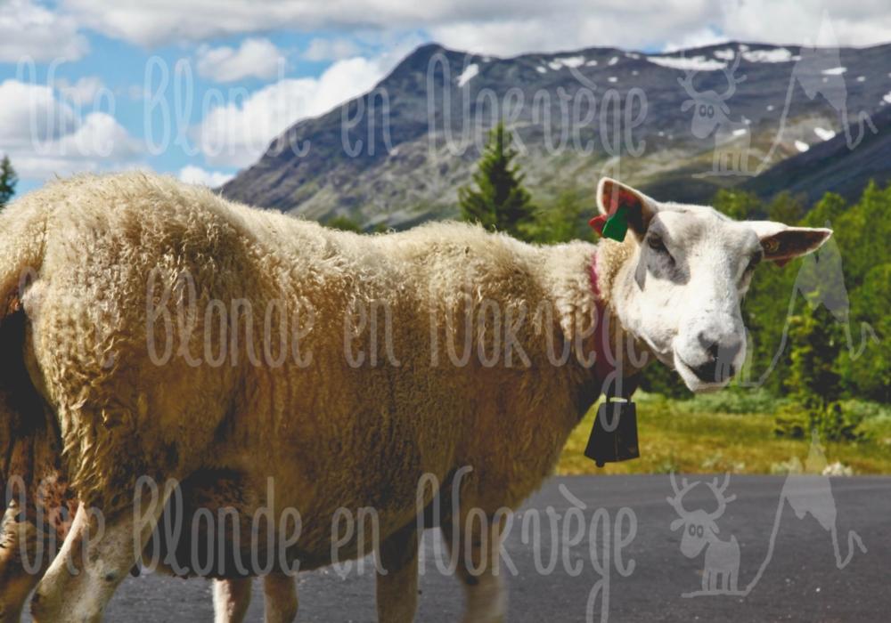 Mouton calme