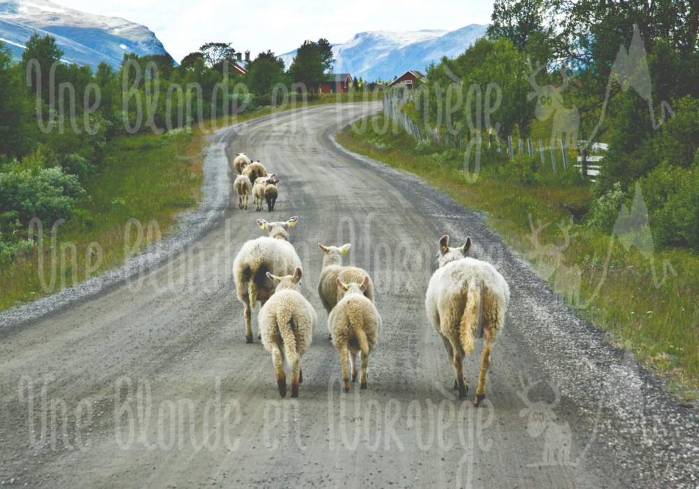 Moutons randonneurs