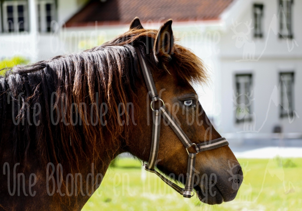 Cheval songeur