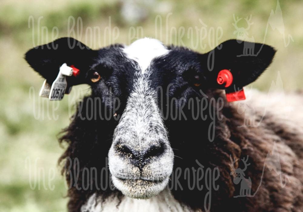 Mouton rêveur