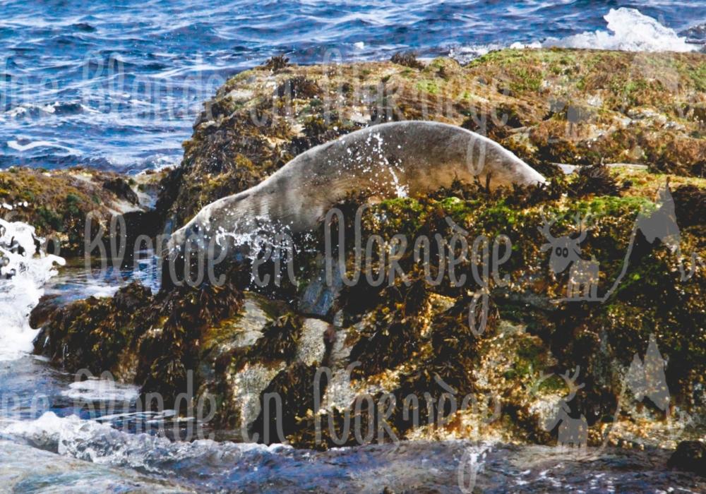 Phoque sauvage plongeur